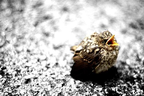 Ensamfågelunge